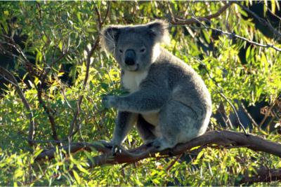 オーストラリア コアラ